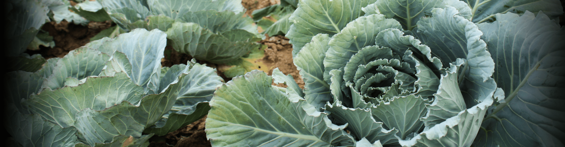 Cabbage from a GLK Foods farm
